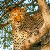 Maroela Leopard