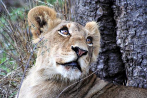 Lion cub 2 - Final