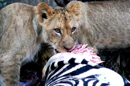 Lion cub on Zebra Kill Final